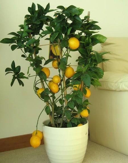 что делать когда у комнатного лимона опадают листья